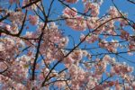 ジーンナッソーズと桜。